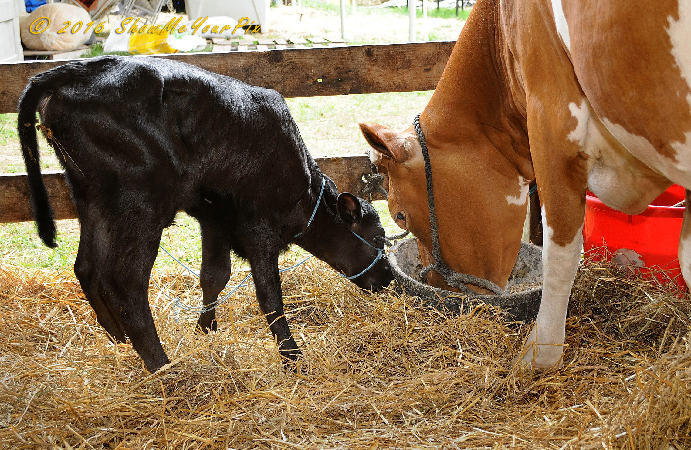 baby-cow_9057